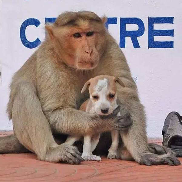 印度猴子收养一只流浪小狗 感动了整个世界(图) - 中国日报网