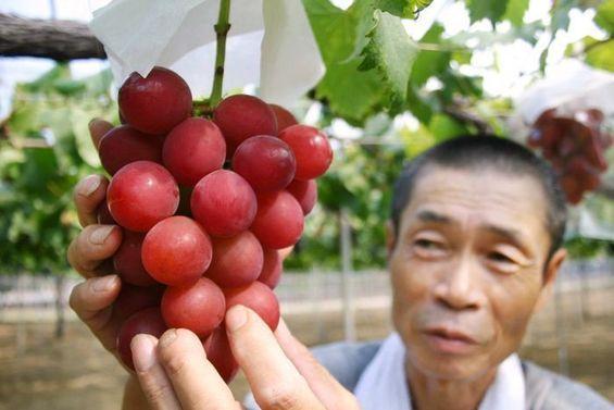 速来围观!日本一串葡萄拍出近1.5万美元 - 中国日报网
