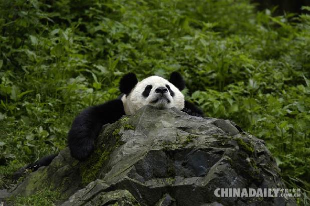 好消息!国宝大熊猫已经不再是濒危动物啦! - 中国日报网