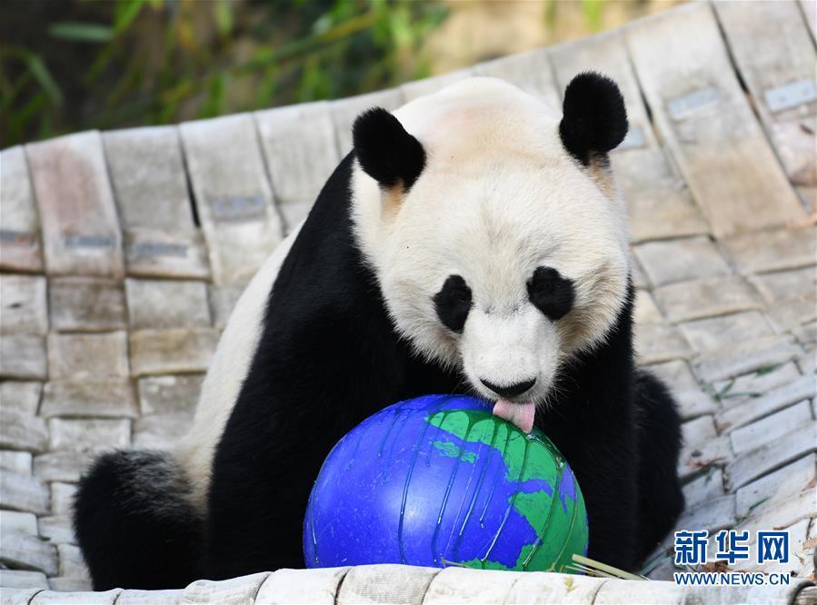 """(国际)(2)旅美大熊猫""""贝贝""""回国欢送活动启动"""