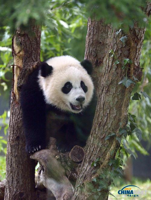 """美国动物园庆熊猫""""宝宝""""一周岁 举办隆重庆生活动"""