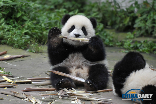 资料图:一只幼年大熊猫在享用竹笋.(图片来源:新华社)