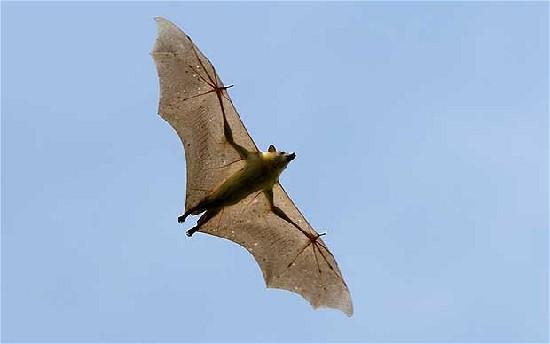 蝙蝠或是对抗埃博拉病毒关键