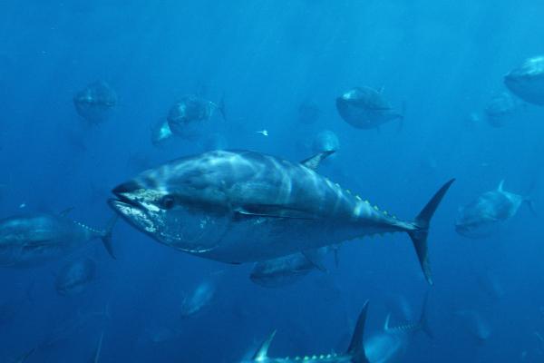 蓝鳍金枪鱼(图片来源:《赫芬顿邮报》) 大西洋蓝鳍金枪鱼被国际自然保护联盟列为濒危物种红色名单。他们受到过度捕捞的威胁。10月的一份报告称,实际交易中允许捕捞东部大西洋蓝鳍金枪鱼的数量是限额量的两倍。今年8月,三菱高管计划购买数吨蓝鳍金枪鱼并且冷冻,以应对即将到来的供应紧张。