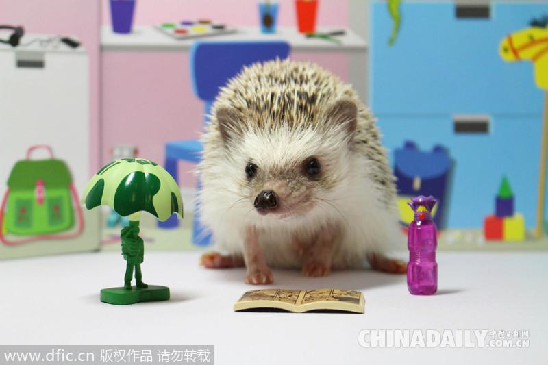 中国日报网1月8日电(张同彤)一只超萌的刺猬Turbo会吃快餐、玩乐高,甚至还会逛街购物,它已经成了网络新萌宠。它的主人是来自日本东京的24岁的女子Ashley Chiu,自去年12月她将Turbo的照片发到Instagram上后,立刻引来了5万多粉丝。让我们一起来感受一下这只超级萌宠吧!      日本超萌小刺猬Turbo和乐高玩具在一起玩耍。(图片来源:东方IC)