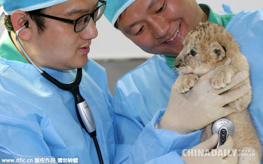韩国爱宝乐园为动物进行春季体检 小狮子萌萌哒