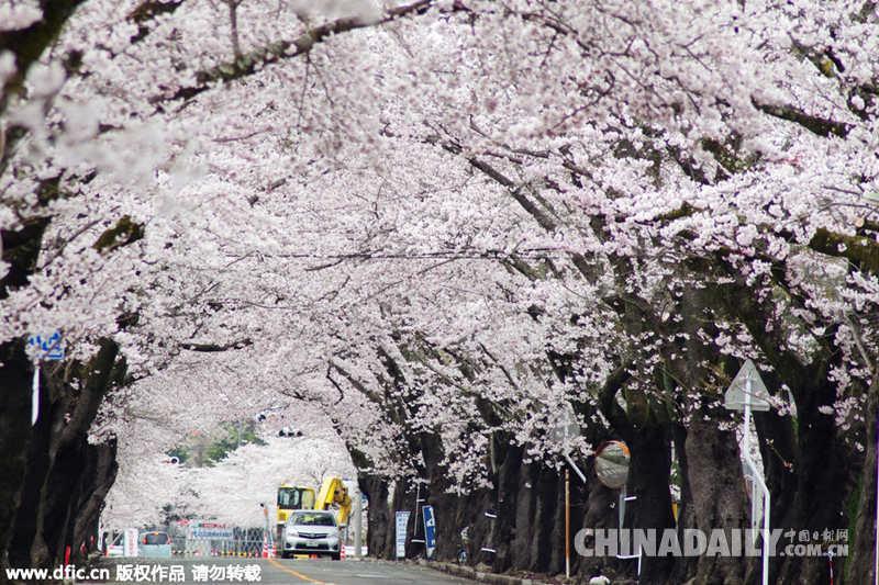 寂静之春:日本福岛核电站附近樱花盛开(组图)
