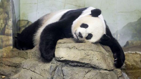 华盛顿国家动物园大熊猫美香生下双胞胎