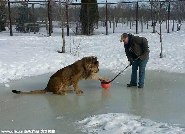 动物饲养员与狮子的一对一曲棍球比赛