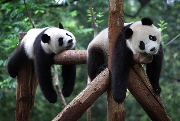如果一切顺利,韩国小朋友或许明年上半年就能看到这对可爱的大熊猫啦.