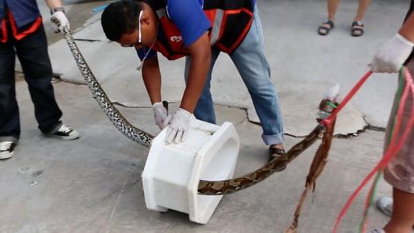 马桶竟钻出3米蟒蛇!泰国男子被咬伤陷入昏迷