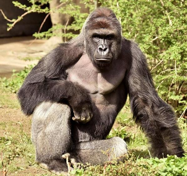 图为美国动物园被射杀的大猩猩哈兰贝,它今年17岁。(图片来源:雅虎新闻网) 中国日报网6月2日电(孙若男) 美国俄亥俄州辛辛那提动物园因救男童杀死大猩猩哈兰贝(Harambe)一事,引起社会广泛争议。据英国路透社6月2日报道,该动物园工作人员称已收集大猩猩哈兰贝的精液样本,这意味死去的哈兰贝今后还可能通过人工手段繁衍后代。 不过,美国政府负责监管动物园繁殖问题的一些官员表示,尽管哈兰贝的精液样本已被收入国家稀有及濒危物种基因资料库,但它的精液几乎不可能用于繁殖后代。 在美国动物园和水族馆协会负责大猩猩物