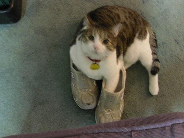 """超可爱!国外网友晒照猫咪也爱""""穿""""鞋子"""