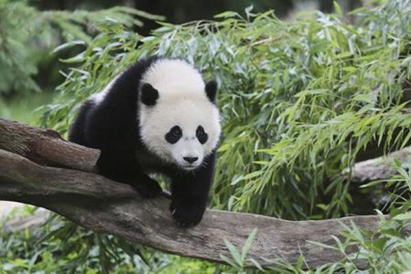 2014年8月,大熊猫