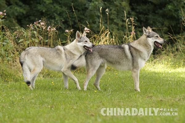 灰狼是芬兰的保护动物.(图片来源:法新社)