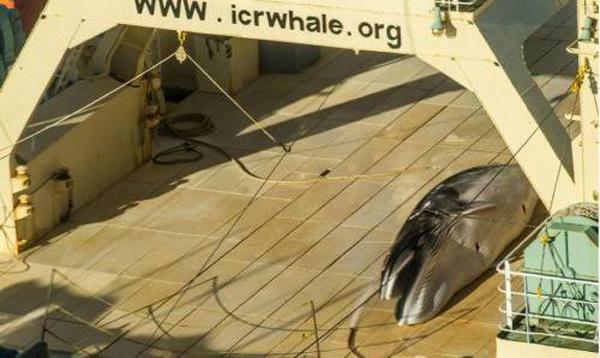 无视国际法院裁决 日本捕鲸船再现南极