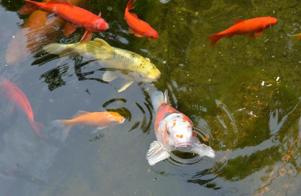 谁能想到萌萌的宠物金鱼也能对其他物种造成威胁?(图片来源:德意志新闻社) 中国日报网3月22日电 你可能不会想到外形可爱、性情温驯的小金鱼也能成为其他物种的威胁,但正如人不可貌相这句话所说的,鱼也不能貌相。据德国The Local新闻网站3月20日报道,被放生到慕尼黑野外水域的宠物金鱼很快形成规模,导致其他鱼类挨饿消亡。 当地政府20日发出警告,金鱼作为宠物本是无害的,但把它们放入公共池塘和湖泊,就会对水域中的天然鱼类种群造成破坏性影响。它们在天然水域中大量繁殖成群,吃掉那里所有的东西,让水中其他生物