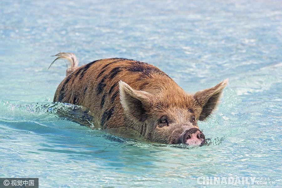 """巴哈马有座""""小猪岛"""" 猪宝宝们游泳冲浪生活惬意"""