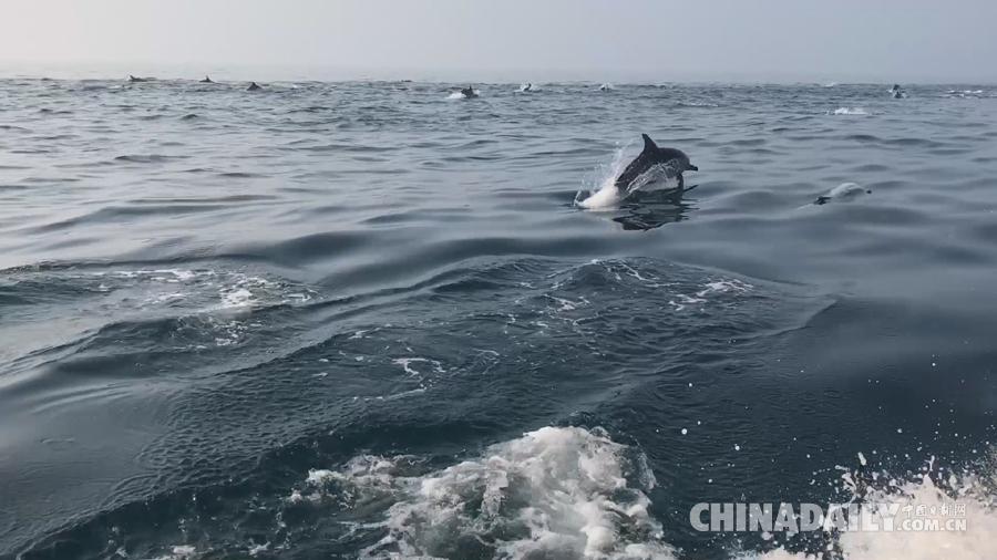 """壮观!南澳岛海域上演""""海豚竞速"""""""