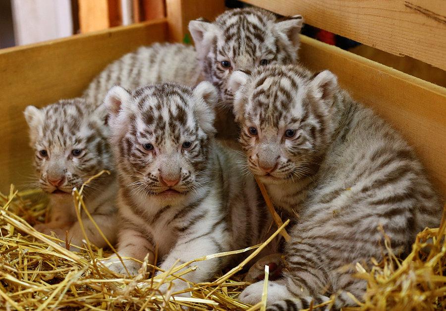 当地时间4月26日,四只孟加拉虎幼崽亮相凯恩霍夫的白色动物园。(图片来源:视觉中国) 中国日报网4月27日电 当地时间4月26日,四只萌萌的孟加拉虎幼崽亮相奥地利凯恩霍夫的白色动物园( White Zoo)。据悉,它们是今年3月22日出生的。四只刚满月不久的小家伙缩在一起,动作憨态可掬,十分可爱。 (编辑:孙若男 高琳琳)