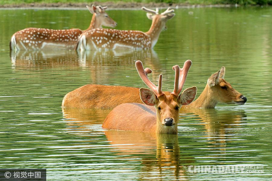 迎罕见高温 英国机智小鹿下水解暑
