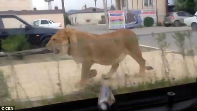 俄罗斯男子街头遛狮子 网友吐槽太疯狂