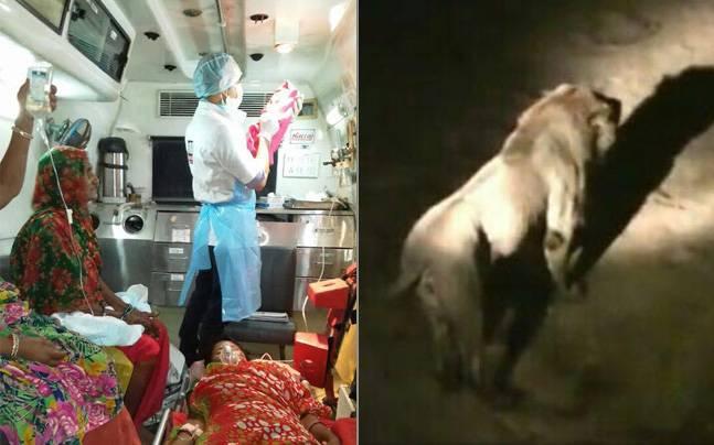 惊!12只狮子围观印度女子在救护车上生产