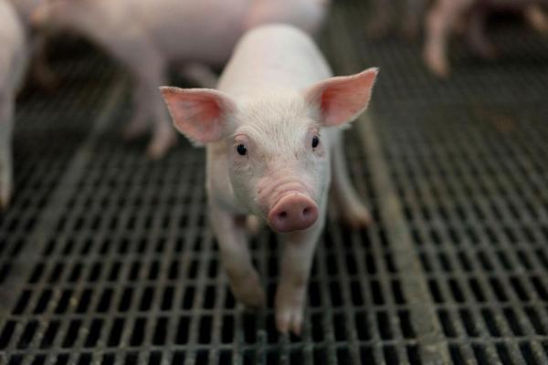 事关重大!日本在猪身上培育人类器官